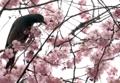 Oiseau sur un cerisier
