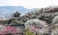 Festival de fleurs d'abricotier