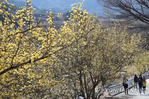[사진톡톡] 노란 봄빛으로 물든 지리산 산수유 마을