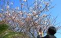 Flores de cerezo en Jeju
