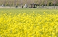La primavera amarilla