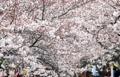 Cerisiers à Jinhae
