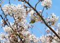 Cerisier en fleurs à Jeju