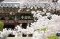 Llega la primavera a Corea del Sur