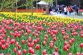 Saison des tulipes