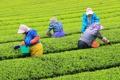 Récolte de thé vert