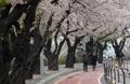 Paseo entre flores de cerezo