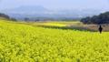 済州島を彩る菜の花