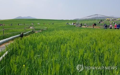 '봄 내음' 가득한 녹색 물결…고창 청보리밭 축제 개막