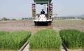 Plantando arroz