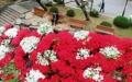 Rosages en pleine floraison