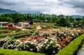 Fête des roses à Gokseong