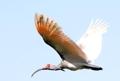 トキ40羽を放鳥