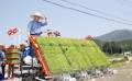Moon plantando arroz