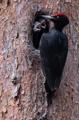 Un raro pájaro carpintero negro