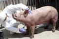 아프리카돼지열병 국내  발병