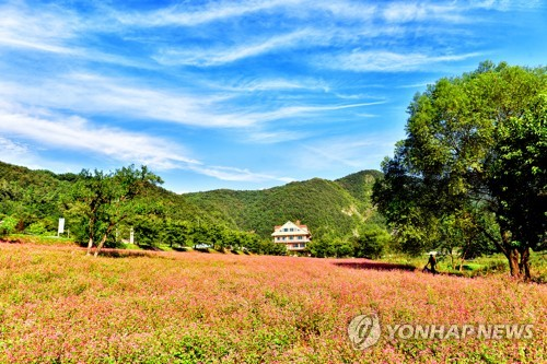 영월 동강변 3만3천㎡에 붉은 메밀꽃..