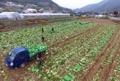 Récolte de choux