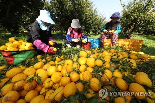 고흥군 유기농 식품 원료용 유자 9t 미국에 첫 수출