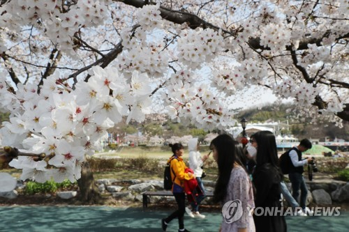 [카메라뉴스] '벚꽃' 만개한 남원 요천 벚꽃길